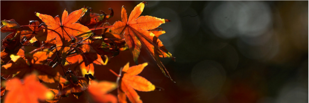 Kanazawa Autumn Leaves