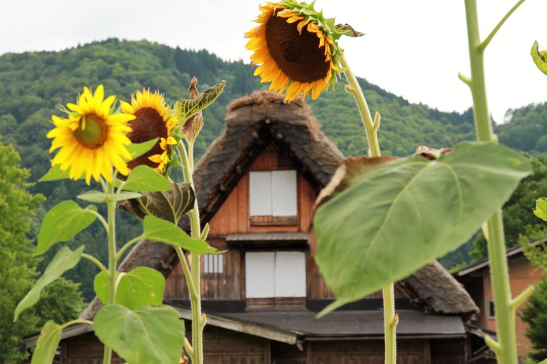 sunflower shirakawago